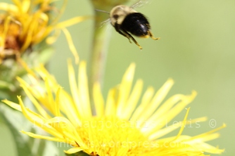 Bombus flying away