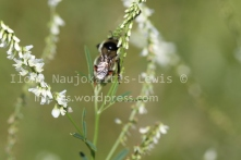 Bombus rufocinctus on sweet white clover, Site 2005A, August 2013