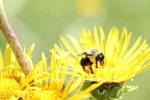 Bombus eating