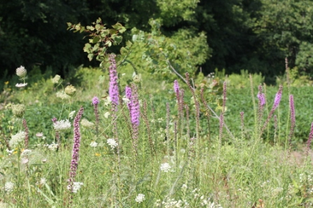 Patch of dense blazing star (Liatris spicata). Threatened species provincially and nationally. Site 2012B, August 2013