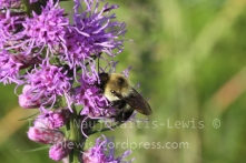 Bombus on dense blazing star (Liatris spicata). Site 2012B, August 2013