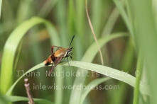 Hemaris sp, likely Hemaris diffinis due to black band across eyes extending to lateral portions of thorax Site 0B, August 2013