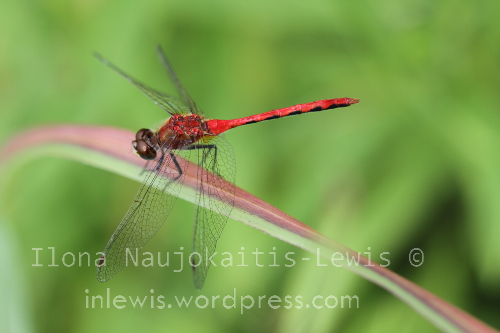 Meadowhawk dragonfly. Site 0B, August 2013