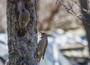 Woodpeckers by Ewag